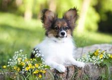 ενήλικο κουτάβι σκυλιών ανασκόπησης papillon Στοκ Φωτογραφίες