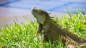 Ενήλικο πράσινο Iguana Στοκ φωτογραφίες με δικαίωμα ελεύθερης χρήσης