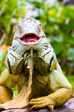 Ενήλικο πράσινο Iguana Στοκ Φωτογραφία