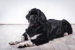 Ενήλικο σκυλί της νέας γης Στοκ Φωτογραφία