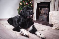 Ενήλικο σκυλί της νέας γης Στοκ Εικόνες