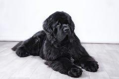 Ενήλικο σκυλί της νέας γης Στοκ φωτογραφίες με δικαίωμα ελεύθερης χρήσης