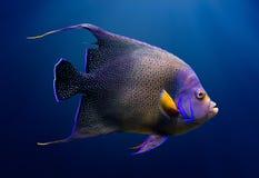 Ενήλικο Koran angelfish Στοκ εικόνα με δικαίωμα ελεύθερης χρήσης