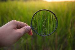 Ενίσχυση - πράσινο ρύζι ανίχνευσης γυαλιού στον τομέα Στοκ φωτογραφία με δικαίωμα ελεύθερης χρήσης