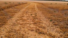 Εναέρια άποψη από έναν μερικώς κομμένο ώριμο τομέα σίτου Πανοραμική μετακίνηση πέρα από το σίτο Αγροτική παραγωγή του ψωμιού μέσα απόθεμα βίντεο