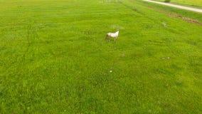 Εναέρια άποψη: Βοσκή αλόγων στον τομέα απόθεμα βίντεο