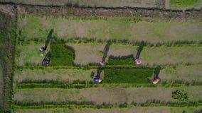 Εναέρια άποψη οι ασιατικοί αγρότες που αυξάνονται το ρύζι στον τομέα ορυζώνα στην Ασία φιλμ μικρού μήκους