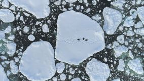 Εναέρια άποψη πάγου της Ανταρκτικής ομάδας Gentoo penguin απόθεμα βίντεο
