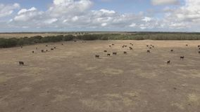 Εναέρια άποψη της ομάδας βοοειδών αγελάδων στα αγροκτήματα της Αυστραλίας απόθεμα βίντεο
