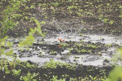 Εναέρια άποψη: Τομέας λάχανων ποτίσματος εξοπλισμού άρδευσης Αγροτικός τομέας ποτίσματος συστημάτων άρδευσης Στοκ Φωτογραφίες