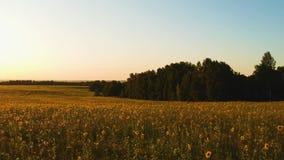 Εναέρια άποψη: τομέας των ηλίανθων στο ηλιοβασίλεμα απόθεμα βίντεο