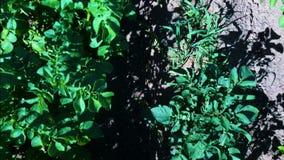 Εναέρια άποψη τομέων πατατών Σειρές των πατατών σε έναν εναέριο βλαστό dron τομέων φιλμ μικρού μήκους