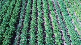 Εναέρια άποψη τομέων πατατών Σειρές των πατατών σε έναν εναέριο βλαστό dron τομέων απόθεμα βίντεο