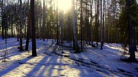 Εναέρια άποψη του ήλιου μέσω των δέντρων στο χειμερινό δάσος απόθεμα βίντεο