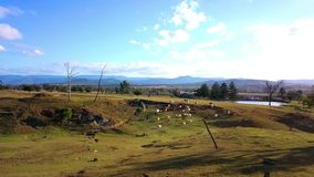 Εναέρια άποψη του αυστραλιανού κοπαδιού βοοειδών απόθεμα βίντεο