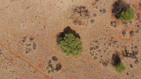 Εναέρια άποψη του δέντρου αγκαθιών καμηλών απόθεμα βίντεο