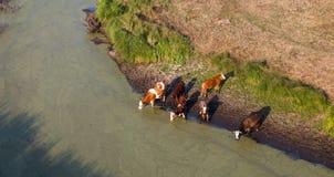 Εναέρια άποψη του κοπαδιού των αγελάδων κατανάλωση θερινών στην πράσινη τομέων στο θόριο Στοκ εικόνες με δικαίωμα ελεύθερης χρήσης