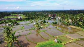 Εναέρια άποψη του τομέα ρυζιού Terraced αγρόκτημα ρυζιού και τομέων στο βουνό, vegeterian τρόφιμα απόθεμα βίντεο