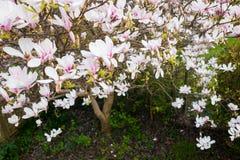 Εναέρια άποψη των άσπρων και ρόδινων λουλουδιών Magnolia Στοκ Εικόνα