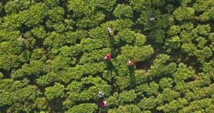 Εναέρια άποψη των λόφων με τη φυτεία τσαγιού στη Σρι Λάνκα απόθεμα βίντεο