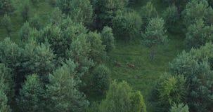 Εναέρια άποψη των deers που περπατούν στα ξύλα στη φύση αγριοτήτων υπαίθρια φιλμ μικρού μήκους