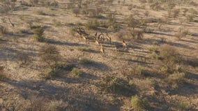 Εναέρια άποψη giraffes απόθεμα βίντεο