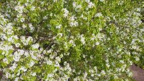 Εναέρια έρευνα για το ανθίζοντας δέντρο καβουριών Τοπ όψη απόθεμα βίντεο