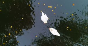 Εναέρια λίμνη λιμνών κύκνων φθινοπώρου πάρκων απόθεμα βίντεο