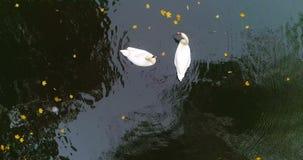 Εναέρια λίμνη λιμνών κύκνων φθινοπώρου πάρκων φιλμ μικρού μήκους