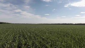 Εναέρια πτήση το πράσινο καλαμπόκι που αρχειοθετείται πέρα από στο καλλιεργήσιμο έδαφος με τον ουρανό φιλμ μικρού μήκους