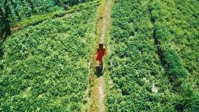 Εναέρια τοπ άποψη της γυναίκας στο κόκκινο φόρεμα που περπατά κατά μήκος των πράσινων τομέων στο Μπαλί φιλμ μικρού μήκους