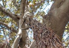 Εναέριες ρίζες ενός μεγάλου δέντρου Banyan Στοκ Φωτογραφίες