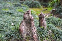Εναέριες ρίζες του φαλακρού κυπαρισσιού Στοκ φωτογραφία με δικαίωμα ελεύθερης χρήσης
