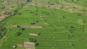 Εναέριος τομέας ρυζιού ορυζώνα άποψης στην ασιατική επαρχία Πράσινη φυτεία ρυζιού άποψης κηφήνων στον του χωριού τομέα Καλλιέργει απόθεμα βίντεο