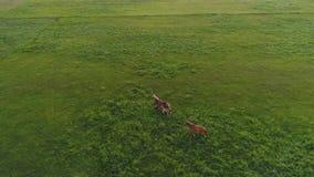 Εναέριο μήκος σε πόδηα κηφήνων δύο αλόγων που τρέχει στον πράσινο τομέα κίνηση αργή φιλμ μικρού μήκους