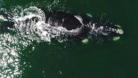Εναέριο μήκος σε πόδηα της νότιας φάλαινας Humback σε Gansbaai, νότος Affrica φιλμ μικρού μήκους