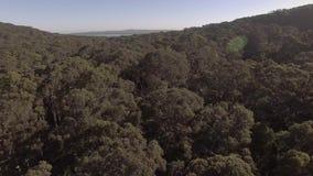 Εναέριο μήκος σε πόδηα του δάσους δέντρων γόμμας στην Αυστραλία απόθεμα βίντεο