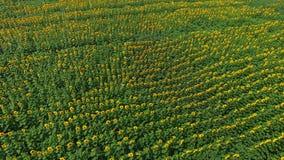 Εναέριο μήκος σε πόδηα των τομέων ηλίανθων που ταλαντεύονται στον αέρα φιλμ μικρού μήκους