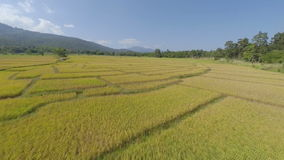 Εναέριο flyover του ορυζώνα ρυζιού απόθεμα βίντεο
