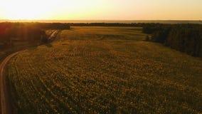 ΕΝΑΕΡΙΑ ΑΠΟΨΗ: Τομέας των ηλίανθων στο ηλιοβασίλεμα φιλμ μικρού μήκους