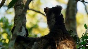 Ενδημικός κερκοπίθηκος indri στο φυσικό βιότοπο επίσης κάλεσε το babakoto στοκ φωτογραφίες με δικαίωμα ελεύθερης χρήσης