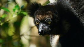 Ενδημικός κερκοπίθηκος indri στο φυσικό βιότοπο επίσης κάλεσε το babakoto στοκ φωτογραφία