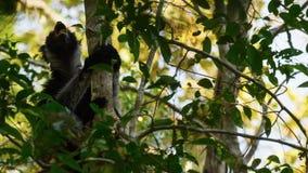 Ενδημικός κερκοπίθηκος indri στο φυσικό βιότοπο επίσης κάλεσε το babakoto στοκ εικόνες