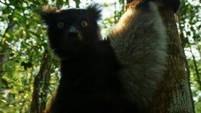Ενδημικός κερκοπίθηκος indri στο φυσικό βιότοπο επίσης κάλεσε το babakoto, είναι οι μεγαλύτεροι κερκοπίθηκοι της Μαδαγασκάρης στοκ φωτογραφίες με δικαίωμα ελεύθερης χρήσης