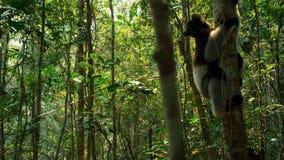 Ενδημικός κερκοπίθηκος indri στο φυσικό βιότοπο επίσης κάλεσε το babakoto, είναι οι μεγαλύτεροι κερκοπίθηκοι της Μαδαγασκάρης στοκ εικόνες με δικαίωμα ελεύθερης χρήσης