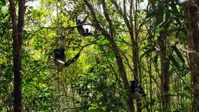 Ενδημικός κερκοπίθηκος indri στο φυσικό βιότοπο επίσης κάλεσε το babakoto, είναι οι μεγαλύτεροι κερκοπίθηκοι της Μαδαγασκάρης στοκ φωτογραφίες