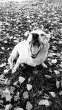 Ενδιάμεσος τροχός μετάδοσης κίνισης σκυλιών Στοκ Φωτογραφία
