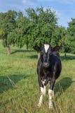 Ενιαία αγελάδα που κοιτάζει επίμονα στη κάμερα στοκ εικόνες