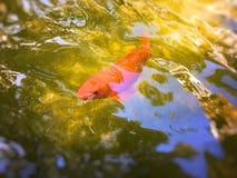Ενιαία διακοσμητικά πορτοκαλιά ψάρια στοκ εικόνες με δικαίωμα ελεύθερης χρήσης