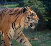 Ενιαία ενήλικη τίγρη στο σχεδιάγραμμα στο ζωολογικό κήπο το καλοκαίρι που περπατά στη χλόη στο χρώμα κοντά επάνω στοκ φωτογραφία με δικαίωμα ελεύθερης χρήσης